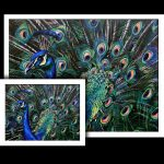 peacock fine art prints